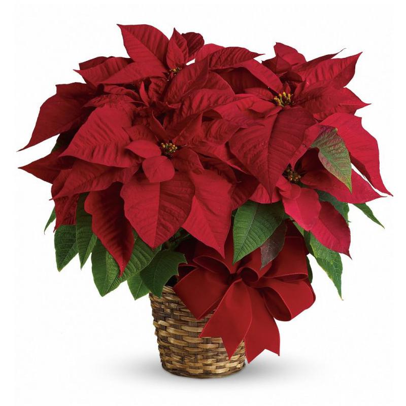 Single Red Poinsettia