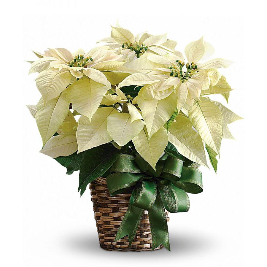 Single White Poinsettia